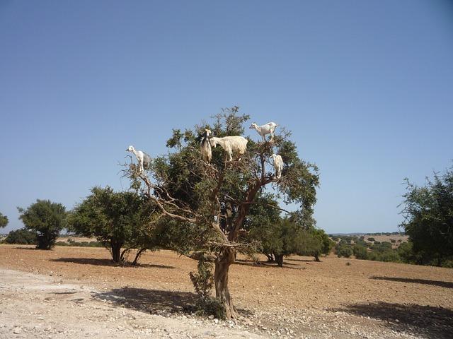 Takto dříve sklízeli kozy plody z arganu